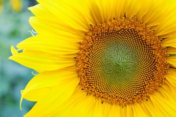 Fully blossomed sunflower