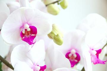Phalaenopsis orchids. Type Phalaenopsis: red lips