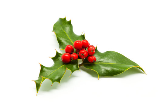 Holly branch and red berries