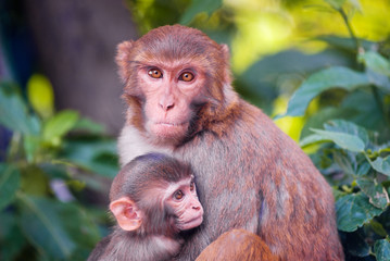 mother chimpanzee huges her cute baby