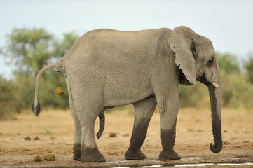 Elephant #8