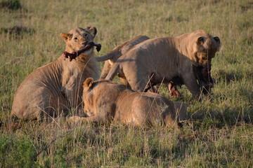 Foto auf AluDibond Lebensmittelgeschäft Young lions are eating in Kenia