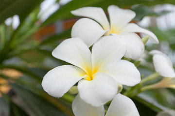 frangipani, Plumeria...tropical flower