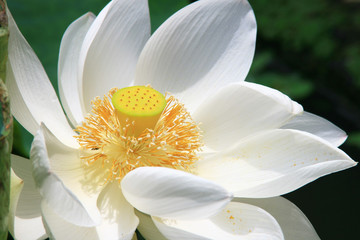 Close up of a White Lotus.