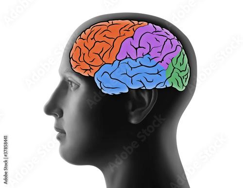 Gehirn und Hirnregionen\