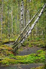 Keuken foto achterwand Berkbosje Trees in the swamp