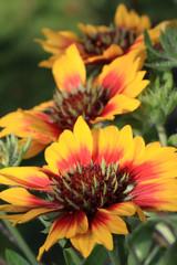 Gaillardia flower