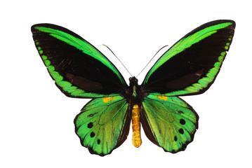 Ornitoptera priamus.