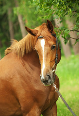 portrait of beautiful red breed mare