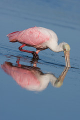 A single Roseate Spoonbill hunting for dinner