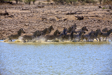 zebra running in a water hole in etosha national park