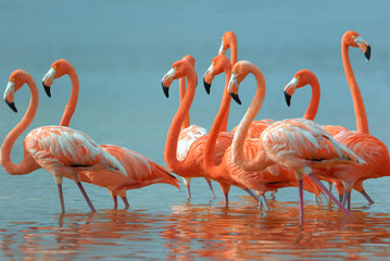 Flamingos are walking in the river.