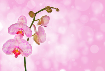 pink orchid and pink bokeh