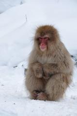 Snow Monkey of Japan