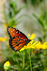 Queen Butterfly on a Yellow Flower