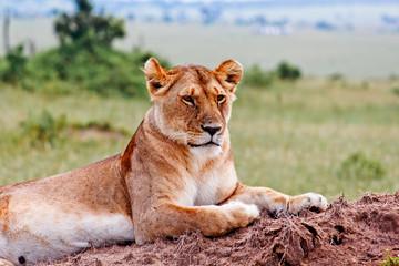 Lioness portrait from Kenya