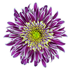 Chrysanthemum Flower Purple with Lime Green Center