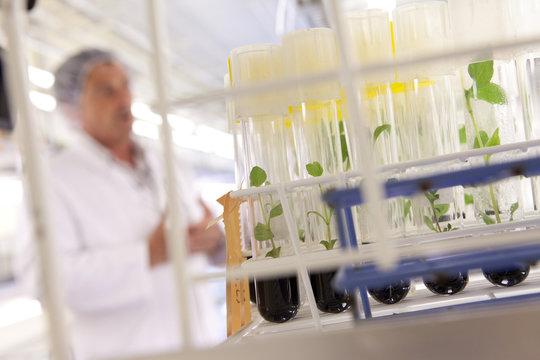 culture in vitro de plantes