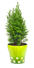 Indoor plant a cypress