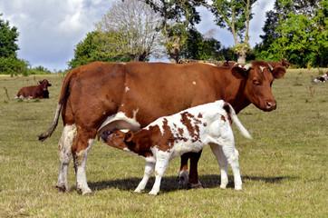 Brown cow and calf suckling in a prairie