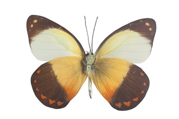orange white black and yellow butterly