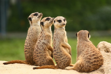 Meerkats all sit together