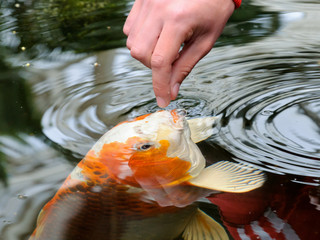 Feeding koi carp