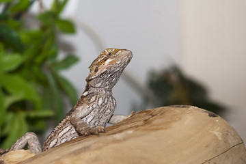 Unhappy bearded dragon showing black belly markings