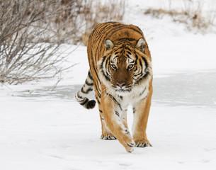 Wall Mural - Siberian Tiger