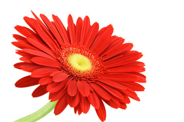 Foto op Canvas Gerbera Red gerber with stem isolated on white background
