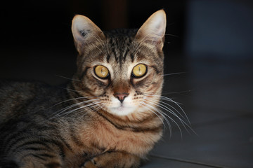 chat et regard jaune