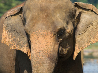 Portrait of asian elephant - Elephas maximus