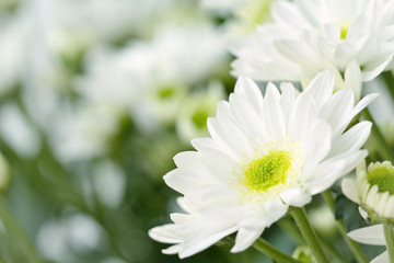 White daisy with flower blurs in background