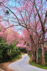Sakura pink road in ChiangMai, Thailand
