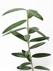 Young isolated Olive tree