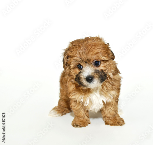 Sweet Yorkie Poo Puppy Stock Photo And Royalty Free Images On