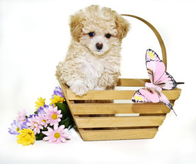 Toy Poodle Puppy with Butterfly