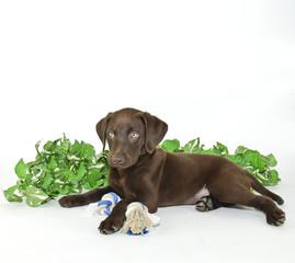 Lab Puppy