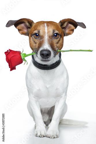 Джек рассел с цветами
