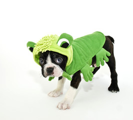Wall Mural - Boston Terrier in a Frog Costume