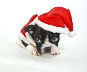 Wall Mural - Boston Terrier Wearing a Santa Hat