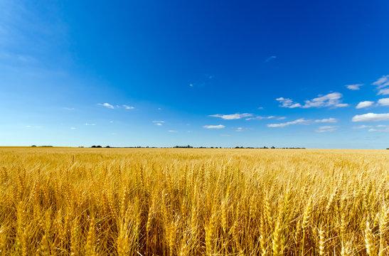 Golden wheat field against a summer blue sky