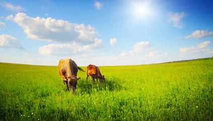 Fototapete - Cows