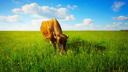 Fototapete - Cow