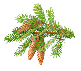 Isolated branch. Fir tree branch with cones isolated on white background