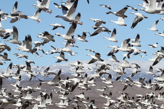 Snow Geese And Snow-covered Mountains