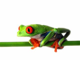 Foto auf Leinwand Frosch Rotaugenlaubfrosch 126 Agalychnis callidryas