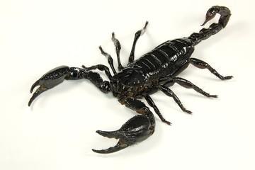 Scorpion, heller Hintergrund