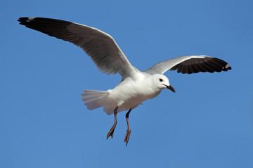 Hartlaub's gull in flight
