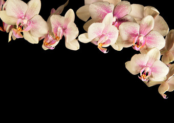 Frame from cream-coloured orchid